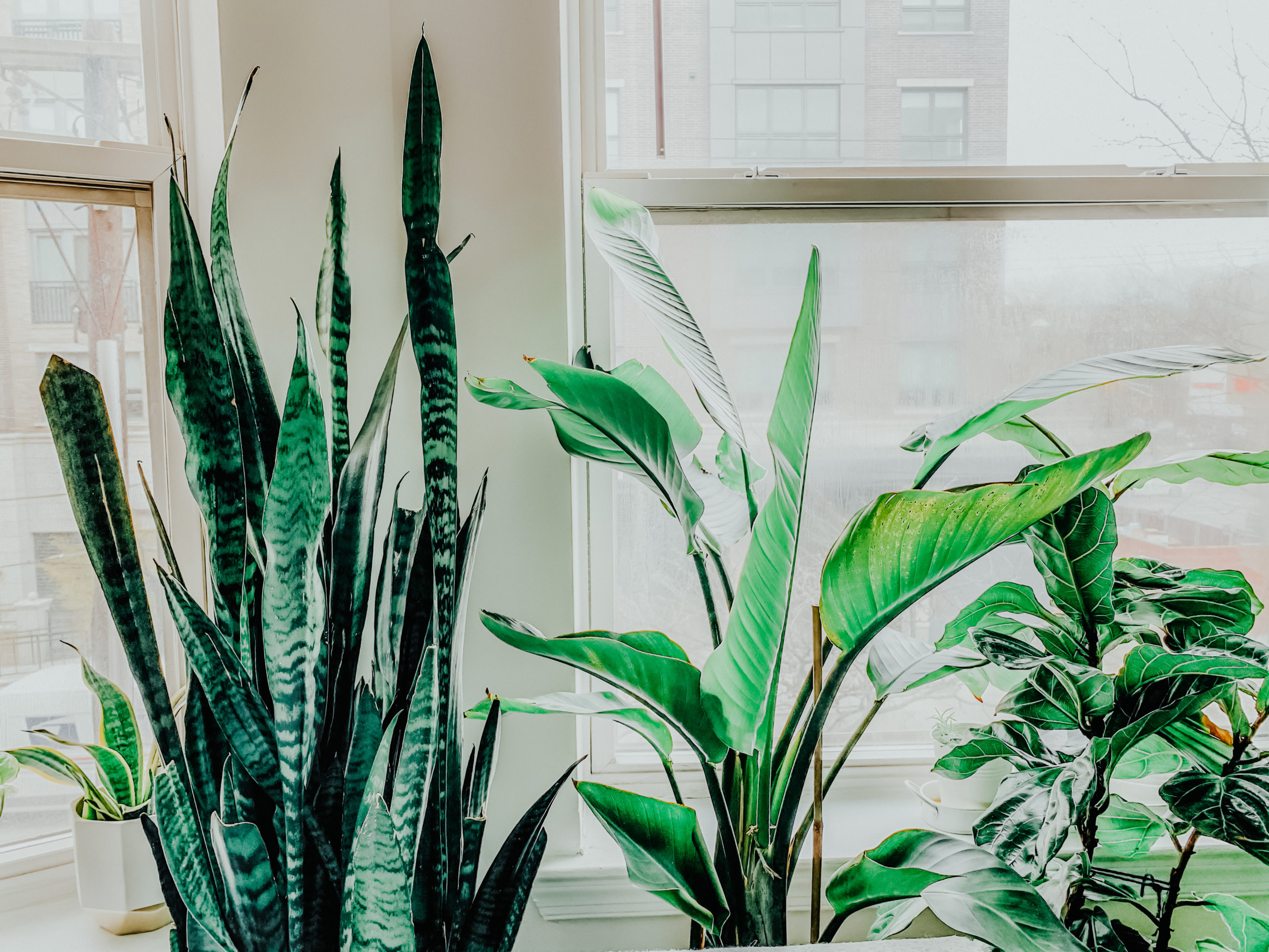 Beginner's Guide to Plant Care, Snake Plant, Bird of Paradise Plant, Fiddle Leaf Fig Plant, Tilden of To Be Bright